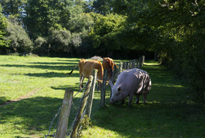 Pigs and cows © Multim�dia & Tourisme